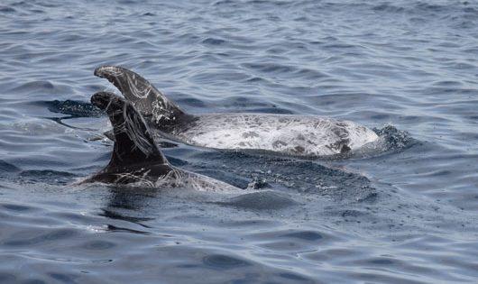 Delfino di Risso